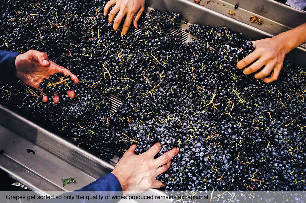 Grapes get sorted so only the quality of wines produced remains exceptional.