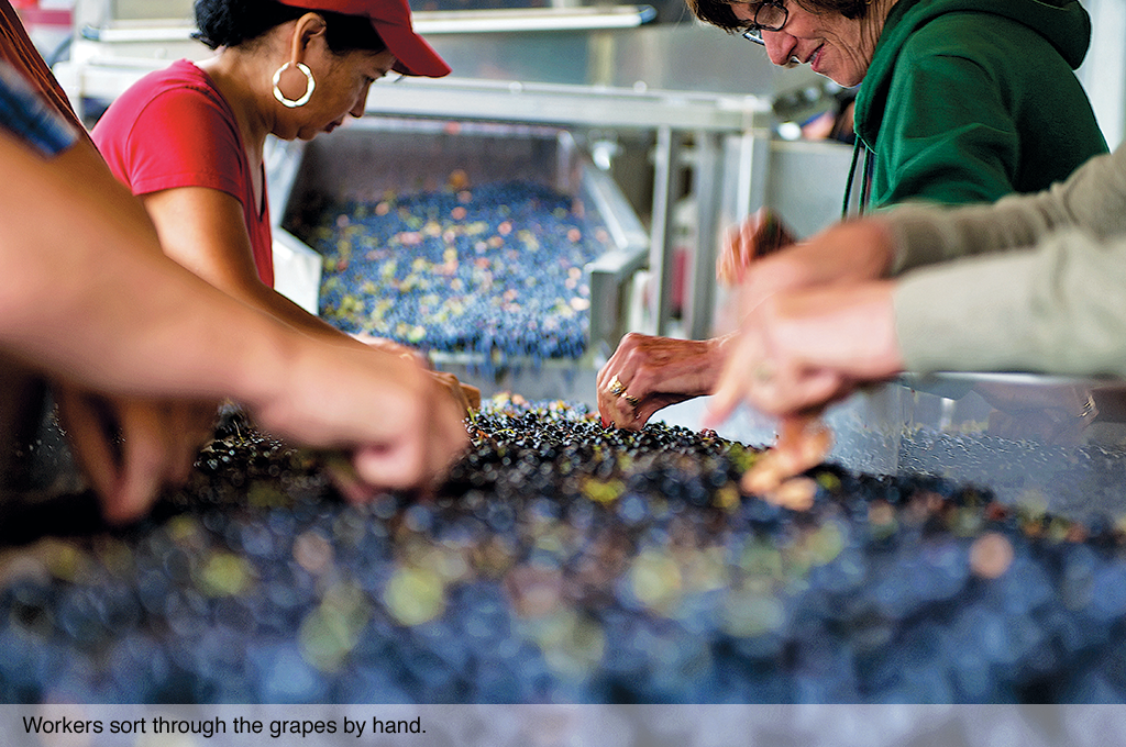 Workers sort through the grapes by hand.