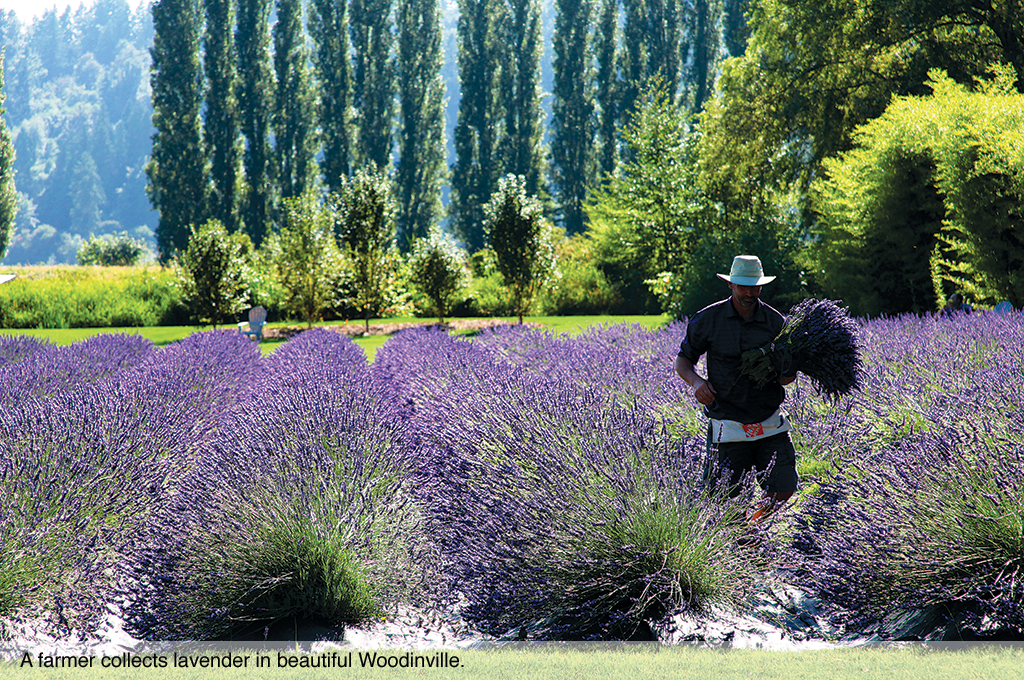 A farmer collects lavender in beautiful Woodinville.